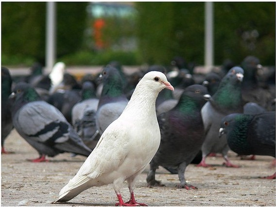 white unique pidgeon
