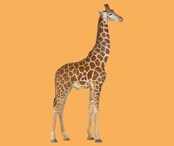 Tall giraffe - tallsome