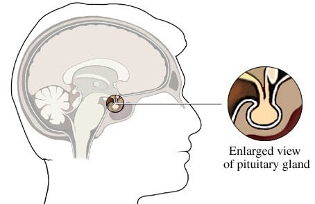 pituitary gland produces growth hormone